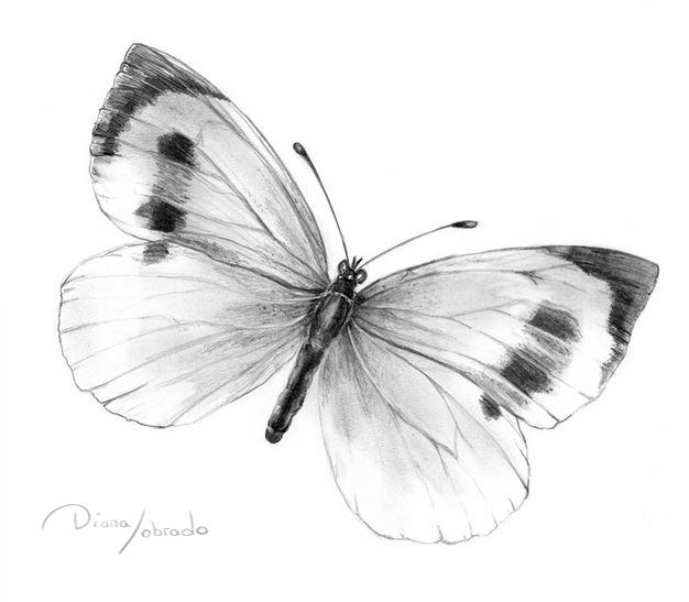 Gran mariposa blanca de Madeira